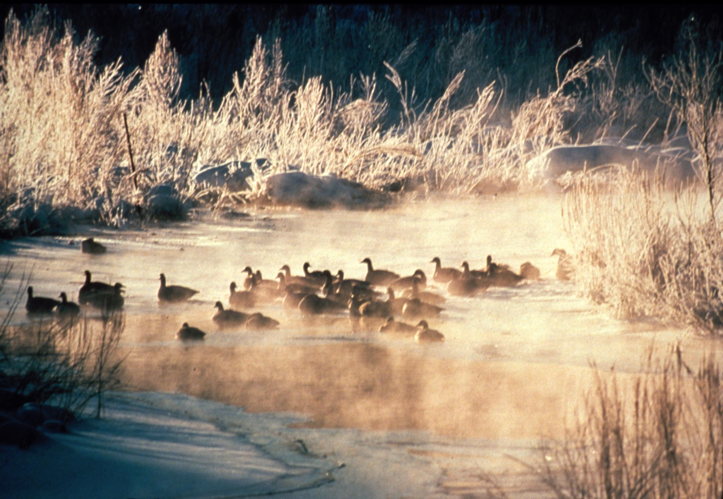 black ducks in winter